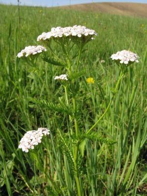 ebek slezinkolist - Achillea asplenifolia