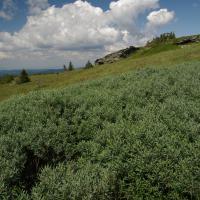 NPR Praděd - Subalpínské křoviny s vrbou laponskou