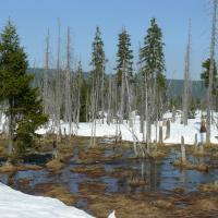 Podmáčené a rašelinné smrčiny v horní části NPR Rašeliniště Jizery