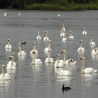 Labutě na Starém jezeře