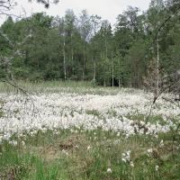 PR Staré Jezero - porosty suchopýru úzkolistého