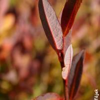 Vrba borůvkovitá