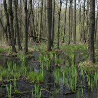 Vrbenské rybníky - mokřadní olšina
