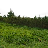 Pinus mugo scrub - monitoring plot