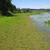 Pařezný rybník s porosty puchýřky útlé