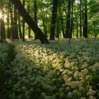 Polanský les Nature Reserve, spring aspect with the stand of wild garlic (Allium ursinum)