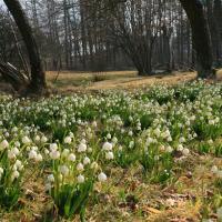 Bledule jarní v Lipkově