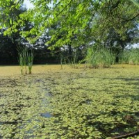 Floating fern (Salvinia natans) at Kozák Fishpond