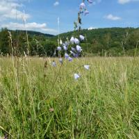 Zvonovec liliolistý