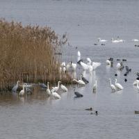 Koncentrace ptáků na Velkém Tisém