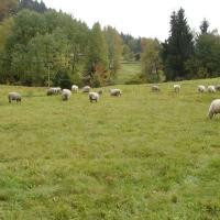 Pastva otav v PP Kudlačena