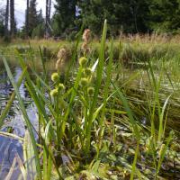 European bur-reed (Sparganium emersum)