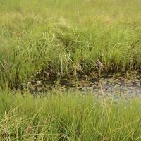 Makrofytní vegetace oligotrofních jezírek a tůní