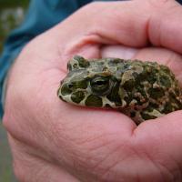 Jirkovský rybník - ropucha zelená