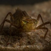 Vážka jasnoskvrnná - larva