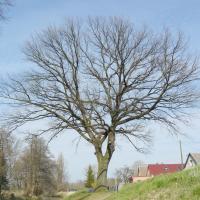 Dub ve Vrdech-Lázních