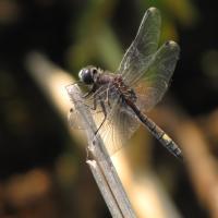 Vážka jasnoskvrnná