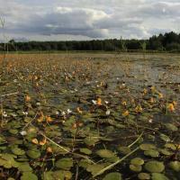 Porost voďanky žabí a bublinatky jižní v Dolanské zátoce v prvním roce po dokončení akce.