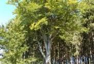 Buk lesní u Částrovic   Autor: Martin Klaudys