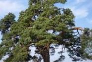"""Památný strom \""""Libáňská borovička\""""   Autor: Antonín Chrz"""