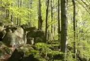 NPR Jizerskohorské bučiny - stará buková kmenovina na balvanitém JV svahu Stržového vrchu | Autor: Vladimír Vršovský