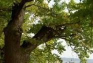 Památný dub na hrázi rybníka Velký Tisý   Autor: Miroslav Hátle