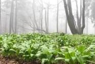 NPR Bukačka, les s porostem česneku medvědího   Autor: Josef Hájek
