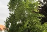 Platan javorolistý v zámeckém parku - celkový pohled | Autor: Olga Suldovská