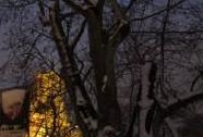 Platan javorolistý s kostelem Sv. Ignáce z Loyoly na Karlově nám.   Autor: Olga Suldovská