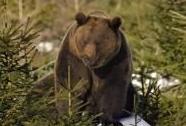 Medvěd hnědý | Autor: Jiří Bohdal