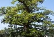 Stromořadí u školního hřiště v Chotovinách | Autor: Josef Albrecht