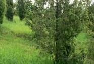 Širokolisté suché trávníky, porosty s význačným výskytem vstavačovitých a s jalovcem obecným (Juniperus communis) | Autor: Jiří Němec
