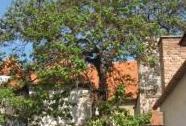 Pavlovnie plstnatá - vysazena okrašlovacím spolkem města Mikulova po 2. sv. válce jako symbol míru | Autor: Olga Suldovská