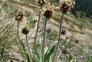 Jitrocel černavý sudetský | Autor: Radek Štencl