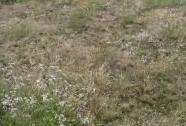 Otevřené trávníky písčin s paličkovcem šedavým (Corynephorus canescens) | Autor: Jiří Bělohoubek