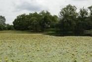 Makrofytní vegetace přirozeně eutrofních a mezotrofních stojatých vod, porosty bez druhů charakteristických pro V1A-V1E | Autor: Jana Juráková