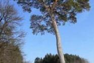 Borovice lesní v Mařenicích   Autor: Petr Knobloch
