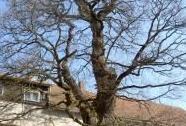 Žižkův dub v Podhradí   Autor: Alena Kopecká