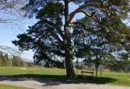 Kousalova borovice u Bystré   Autor: Šárka Mazánková